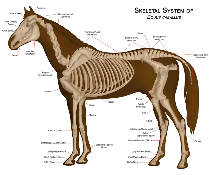 Layers Of The Gastrointestinal Tract moreover Figure together with Diseases Of The Teeth Of Animals besides Px Leber Schaf also Ap Cropped. on horse digestive system diagram
